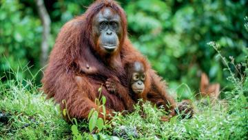 A la rencontre des orangs-outangs