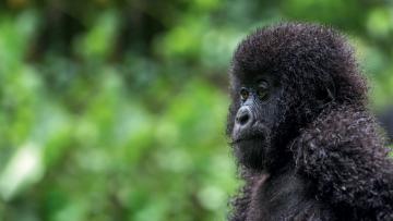 Aux pays des gorilles